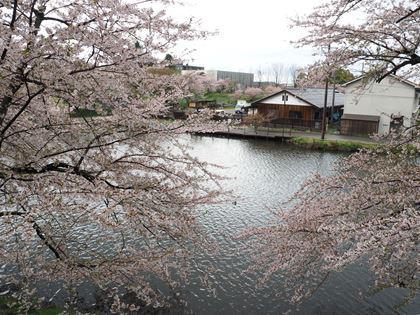 20180407_Castle_Hikone_073_s.jpg