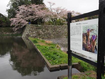 20180407_Castle_Hikone_002.jpg