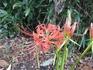 20120923_sonenuma_higanbana.jpg